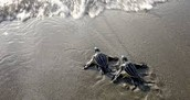 Baby leatherback turtles going into the sea
