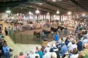 Showing Market Steers