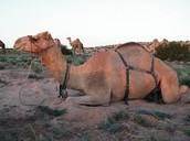 One Humped Camel