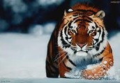 which country does the tiger come from