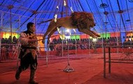 Ringling lion
