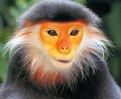 Old World Monkey