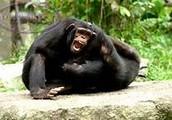 Chimpanzee Communities