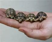 4 full grow Egyptian Turtles