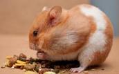 Hamster Feeding