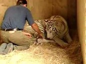 female giving birth to baby tiger