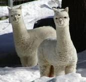 Llamas de nieve.