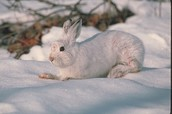 Snowshoe Rabbit