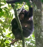 Chimpanzee  Characteristics