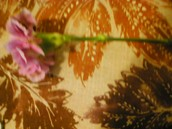 Caranations