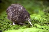 Kiwi Bird!