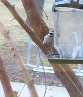 A Woodpecker visits our bird feeder