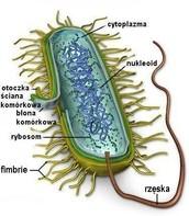 Komórka bakterii.