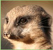 Meerkats adaptation
