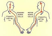 Neurons- Nerve Cells