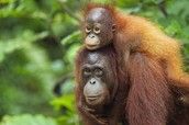 RUN FOR ORANG-UTANS BEFORE THE RAINFORESTS RUN OUT OF THEIR SPECIES