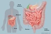 Small/Large Intestine, Rectum, Anus