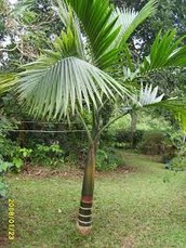 The Champagne Palm