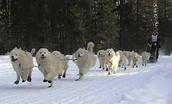Samoyeds--Stone Fox's Sled Dogs