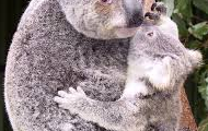 How koalas are looked after