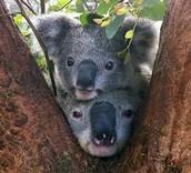 Koala in Forest