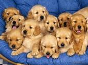 THE GOLDEN PUPPIES!!!
