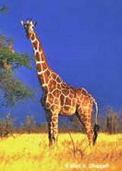 Taxonomy of the Giraffe