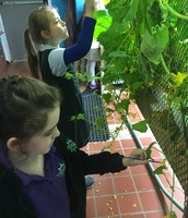 1st Graders hand polinating cucumber blooms