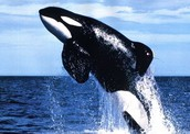 Keiko the whale (played Free Willy)