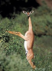 The Gerenuk