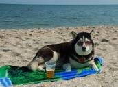 This husky is chilling