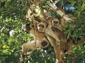 Group of spider monkeys