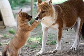 Dhole with Pup