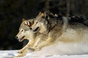 2 facts about wolves