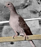 Martha the Last Passenger Pigeon