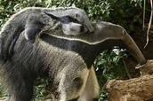 Anteater/Oso hormiguero