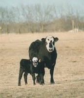 This is a black boldy angus cow and calf.