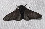 Black Peppered moth