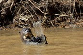 Otters are diying