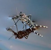 an mosquito floating on water