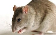 Idiom- The rat she brought to school was only the tip of the iceberg.