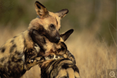 Where the African Wild Dogs live (what it looks like.)