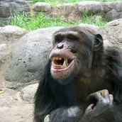 What chimps look like
