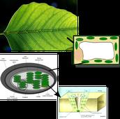 CO2 entering the leaf.