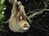 Linne's Sloth: Cholopeus didactylos
