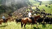 A modern cattle drive