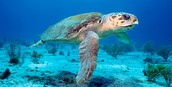 About the Loggerhead  Sea Turtle