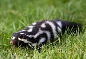 Plains Spotted Skunk