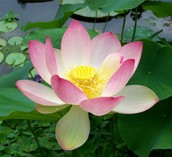 A white lotus with a pinch of light pink on it's petals taking a dip in the pond