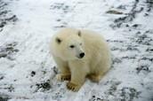 What a Polar Bear Is